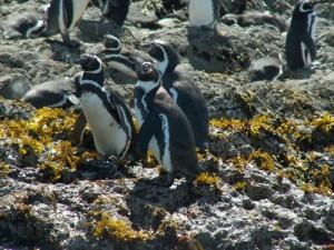 Pinguinos en Puñihuil